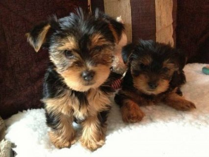 3 Home Raised Yorkie Puppies For Rehoming Akc Registered