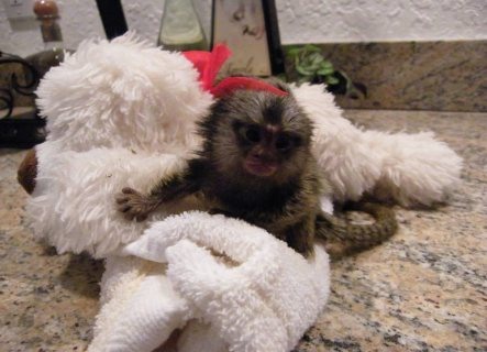 marmoset monkey available for home