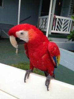 Lovely males and females Scarlet Macaw parrots with Cage