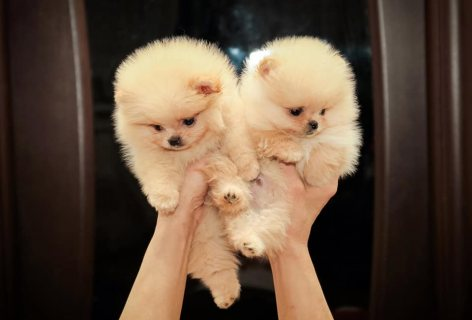 Tea cup pomeranian puppies available