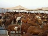 الى تجار مواشي السودان اقرا التفاصيل جيدااا