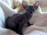 Kittens available for saleHairless- Sphynx Kitt