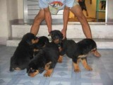I have lovely male and female rottweiler puppies ready for New h