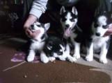 Pedigree Ready Now Stunning Blue Eyes Siberian Husky puppies