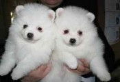 Playful Pomeranian Puppies Available For Adoption