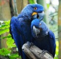Adorable sweet pair of male and female Macaw parrots ready for