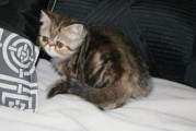 WONDERFUL PERSIAN KITTENS FOR ADOPTION