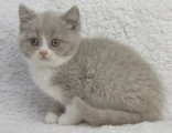 good kooking and well train british shorthair kitten