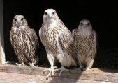 falcon birds