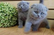 Scottish Fold Kittens ready for adoption
