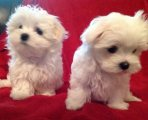 Adorable Outstanding Maltese Teacup Maltese Puppies For Sale.