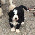 Benardoodle Puppies male and female ready for Sale